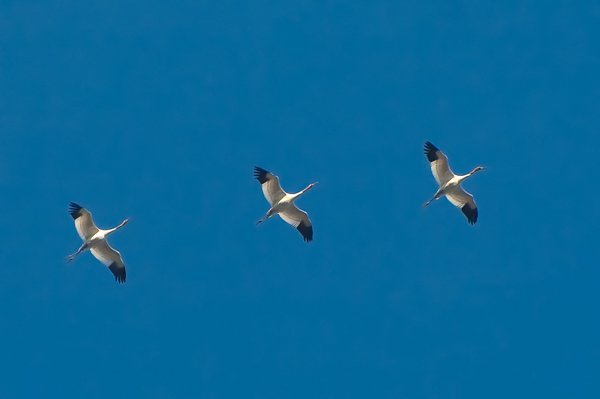 Operation Migration – Whooping Cranes Arrive in North Florida!
