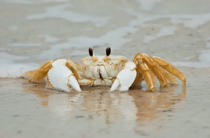 So Common, So Rarely Seen – The Florida Ghost Crab