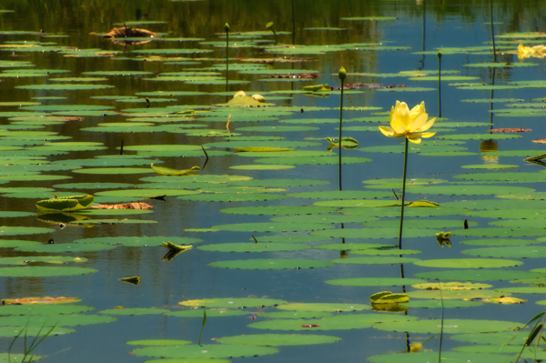 The American Lotus + A Trick for Better Nature Photography