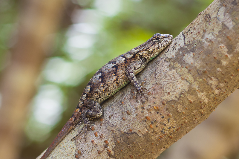 Gravid Eastern Fence Lizard