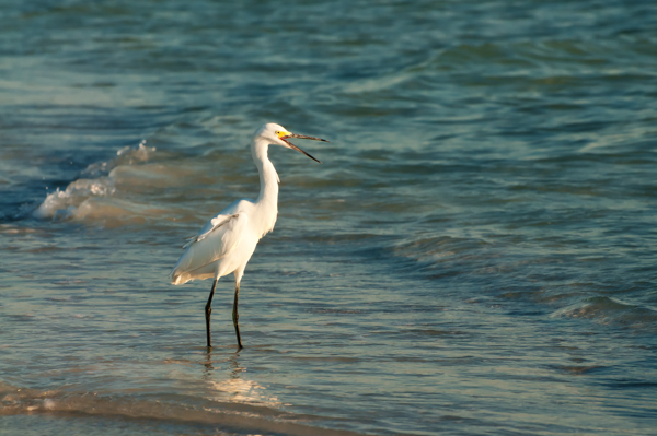 The Golden Hour on Siesta Key – Snowy Egret
