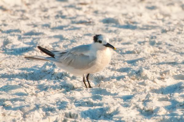 Sandwich Tern!