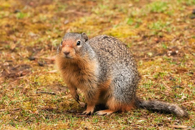 Montana! Ground Squirrels!