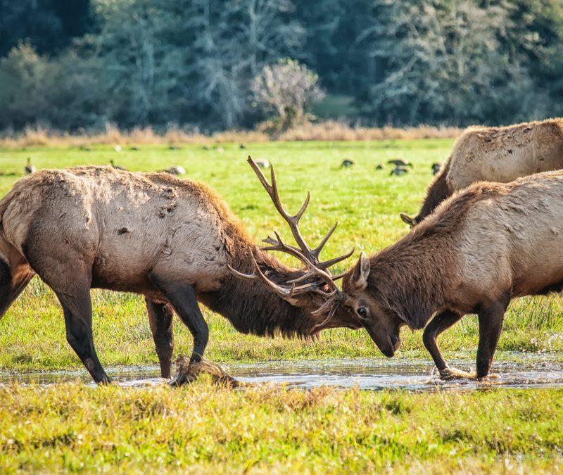 Battle of the Bulls – Breeding Season in Elk Country