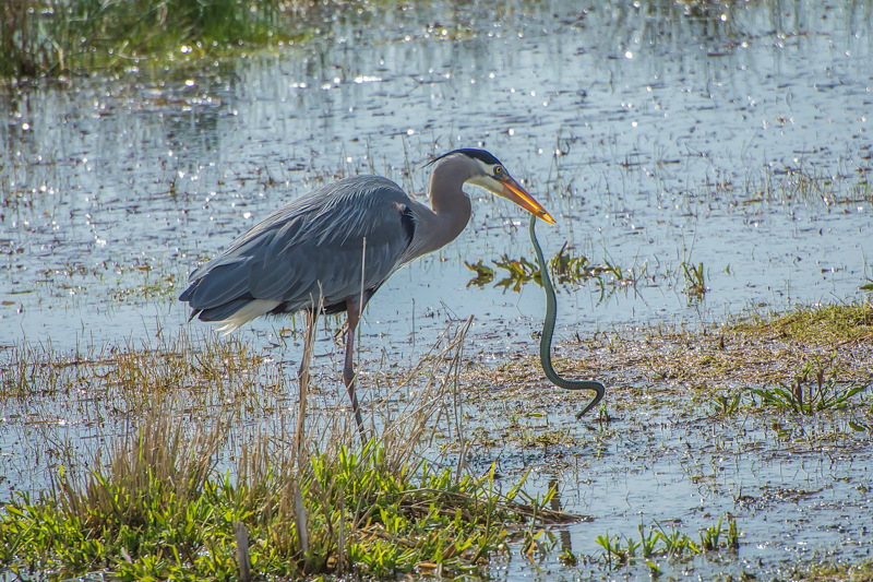 A Great Blue Heron Catches a Northwestern Garter Snake