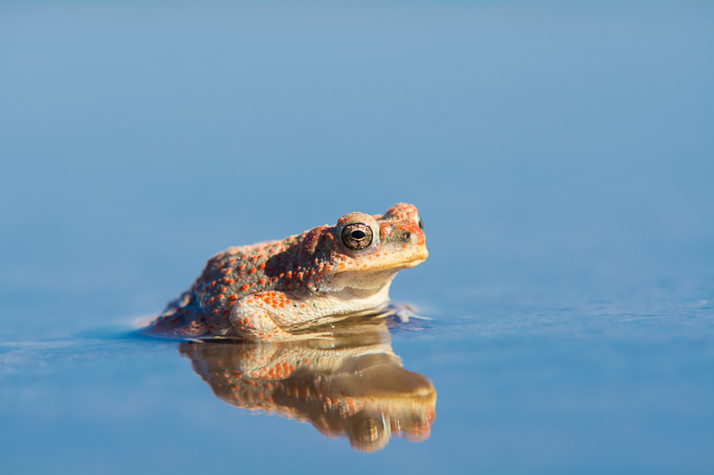The Red-Spotted Toad of the Moab Desert