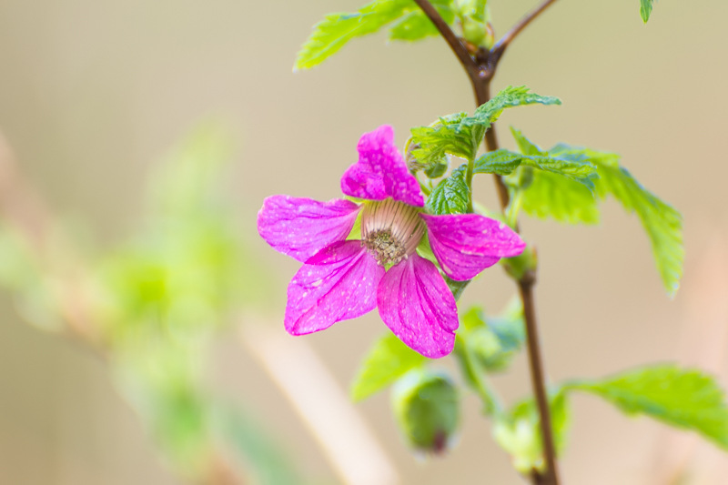 The Pacific Northwest's Humble & Edible Salmonberry – Including Recipes!