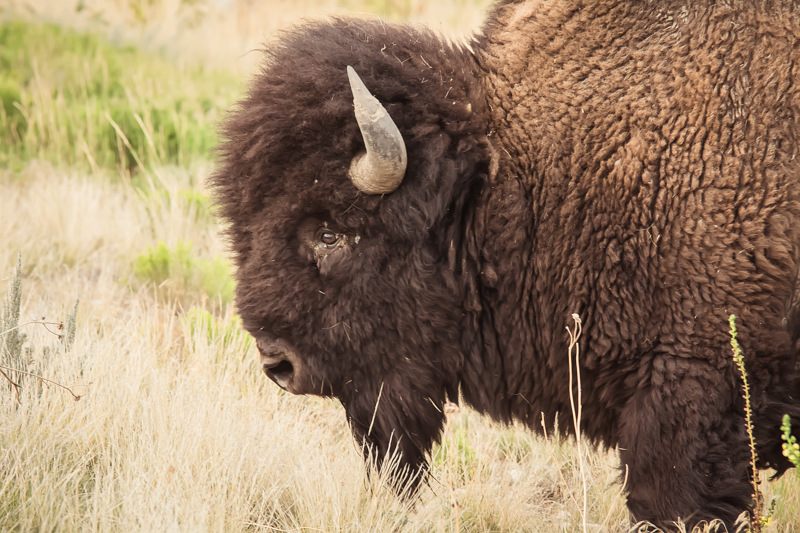 A Herd Apart – The Wild Bison of Antelope Island