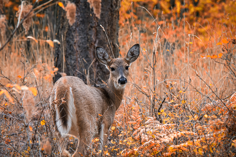 Fall Colors and a White-tailed Deer in Idaho