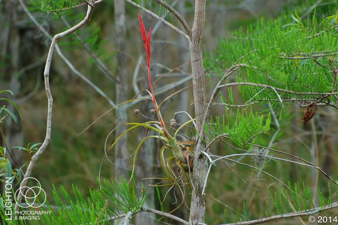 Northern Needleleaf (Tillandsia balbisiana)