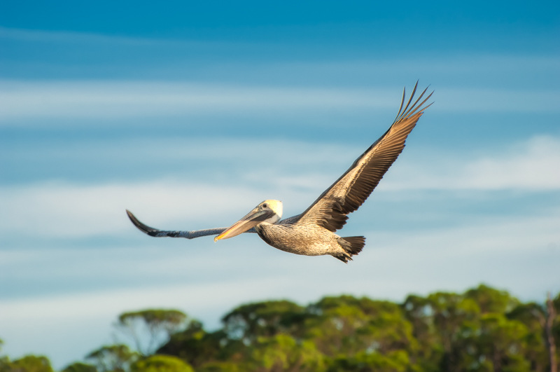 A Wonderful Bird is the Pelican…