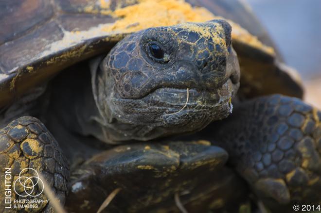 Gopher Tortoise Portrait