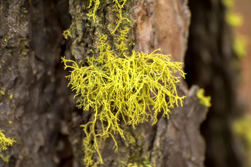 Lichens: Botanicals Naturalists Overlook
