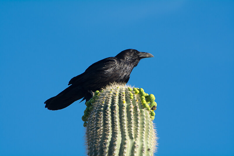 Chiripa! The Chihuahuan Raven Seen in Arizona!