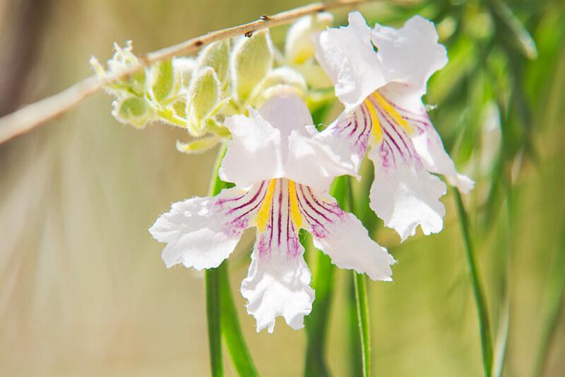 Colorado Desert Wildflowers