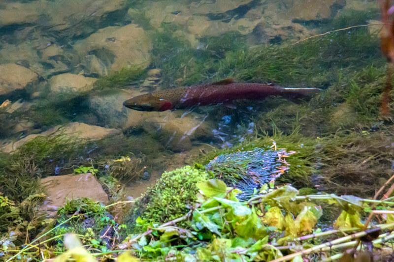 Spawning Coho Salmon!