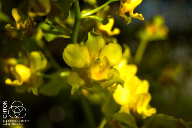 Yellow Cowhorn Orchid (Cyrtopodium polyphyllum)