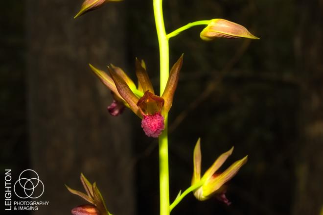 Wild Coco Orchid (Eulophia alta)
