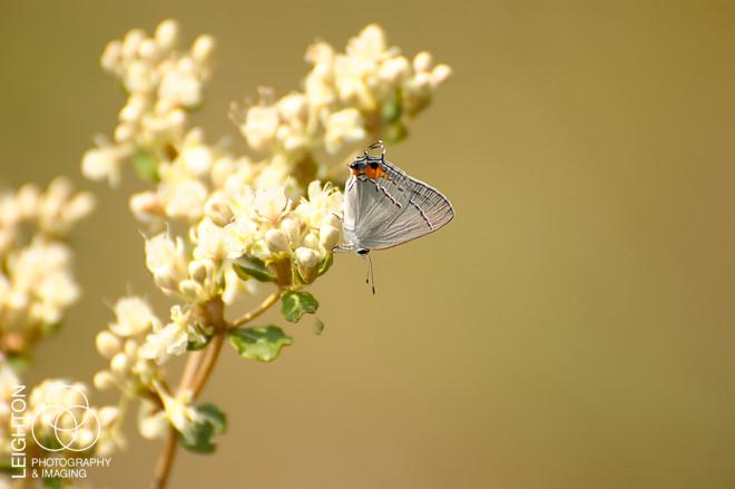 Gray Hairstreak (Strymon melinus)