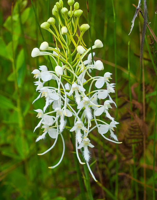 Southern White Fringed Orchid (Platanthera conspicua)