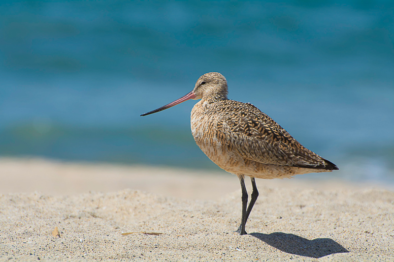 Marbled Godwits in Los Angeles!