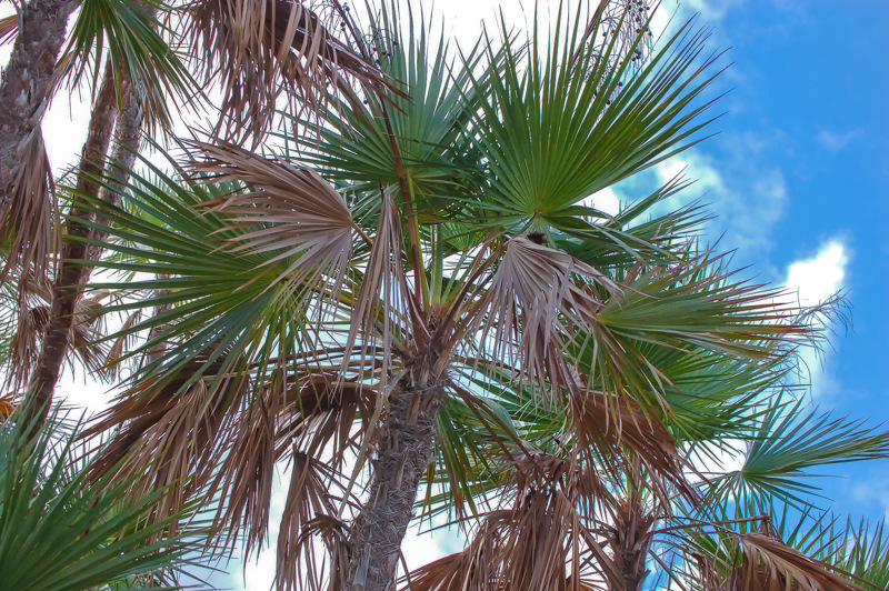 Paurotis Palm: A Florida Native!