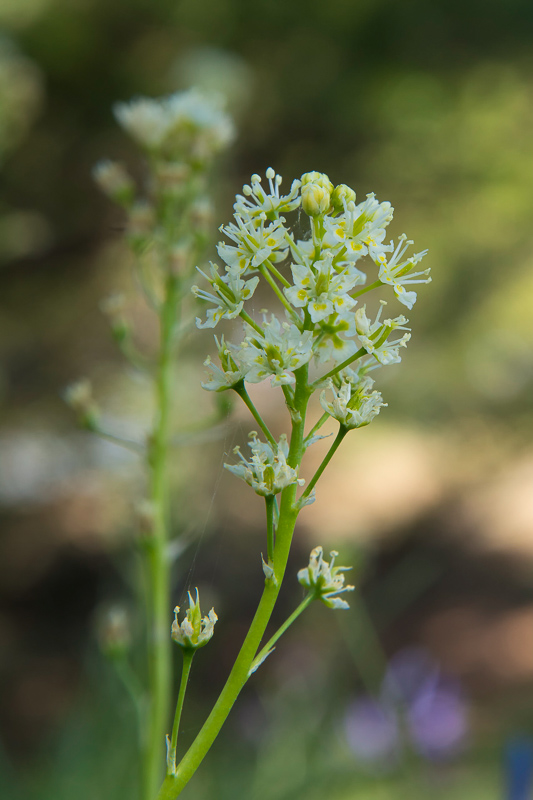 Death Camas – America's Most Poisonous Native Lily
