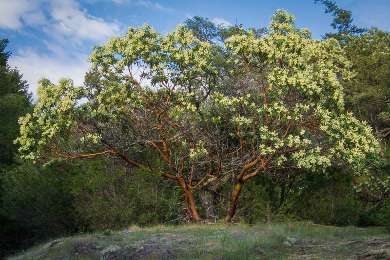 Pacific Madrone (also known as the Manzanita)