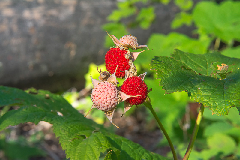 Thimbleberries… Hiker's Candy!