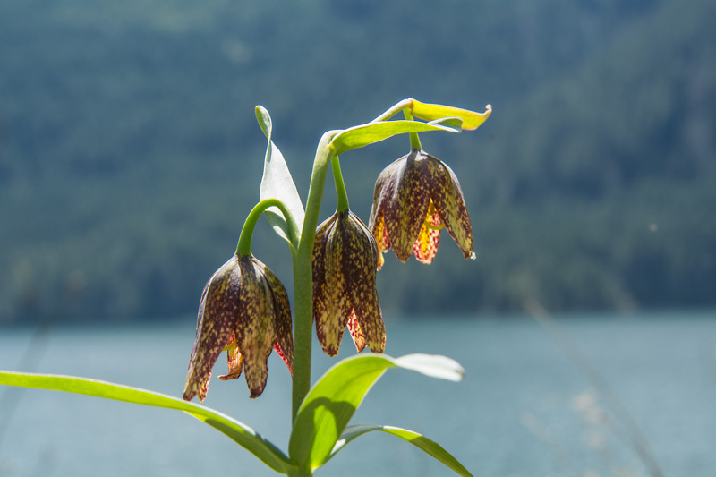 Springtime Chocolate Lilies on the Olympic Peninsula!