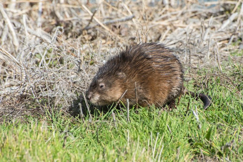 Muskrat! A Giant Semi-Aquatic Vole in Northern California
