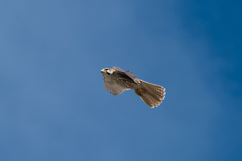 The Prairie Falcon in Flight!