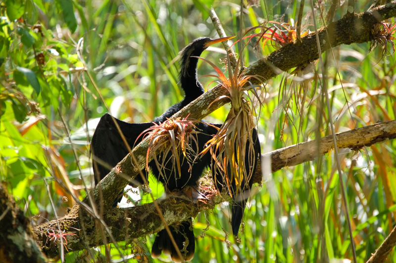Anhinga! One of America's Most Overlooked Birds