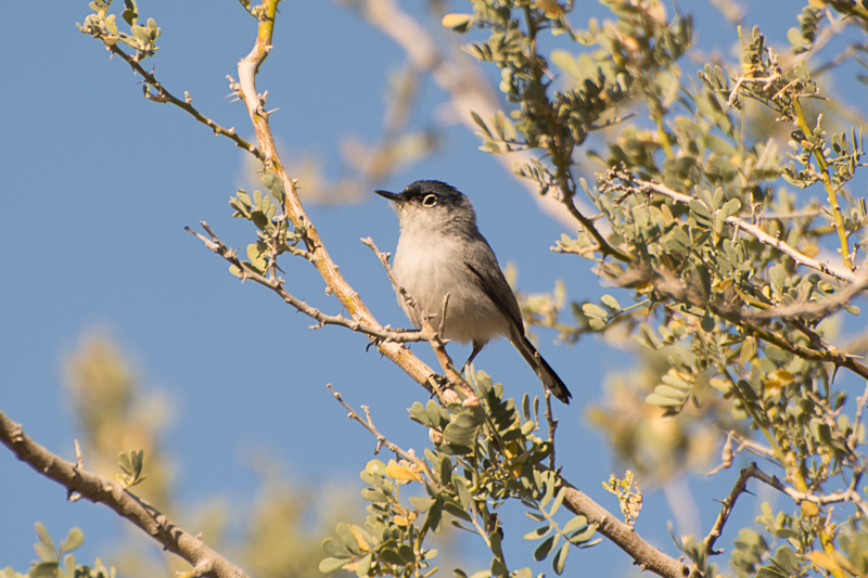 Black-tailed Gnatcatcher – Loudmouth of the Sonoran Desert