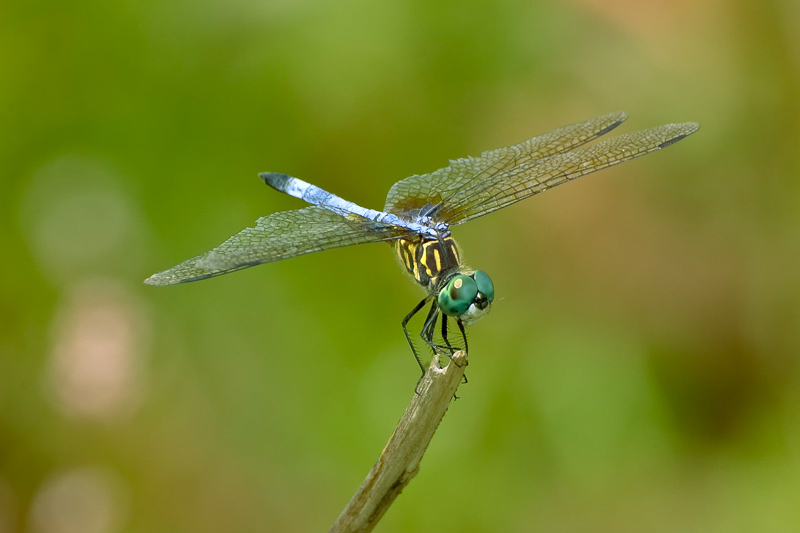 Interesting Nature Facts #5 – Dragonflies