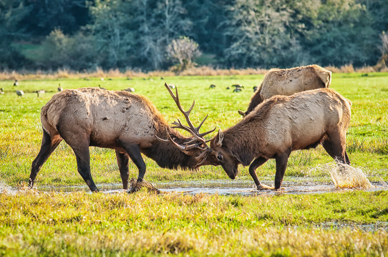 Interesting Nature Facts #6 – Elk
