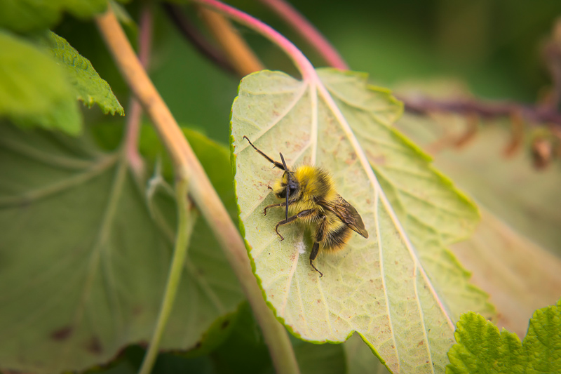 Interesting Nature Facts #4 – Bumblebees
