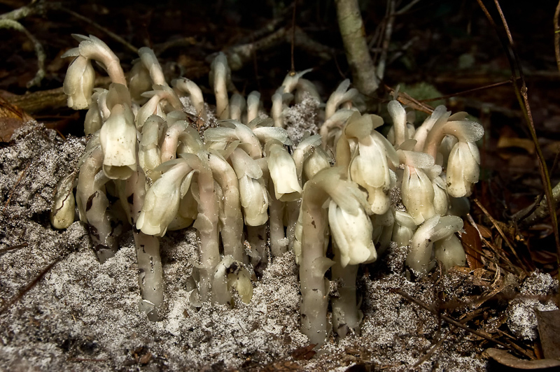 Interesting Nature Facts #15 – Indian Pipes