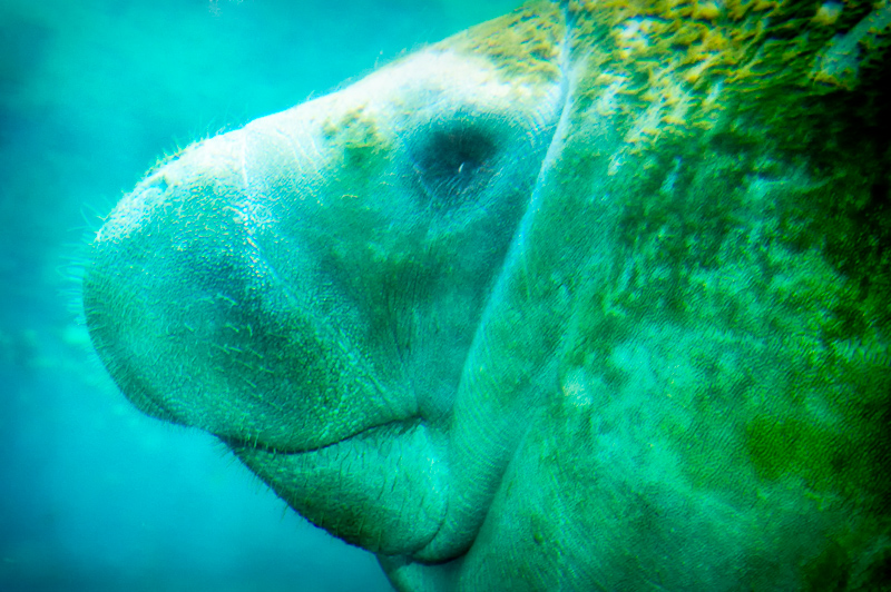 Interesting Nature Facts #20 – West Indian Manatee