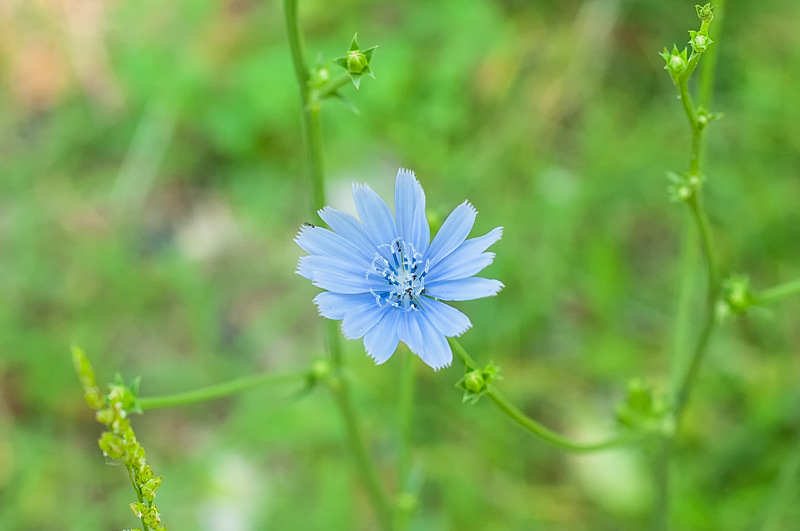 Interesting Nature Facts #31 – Chicory