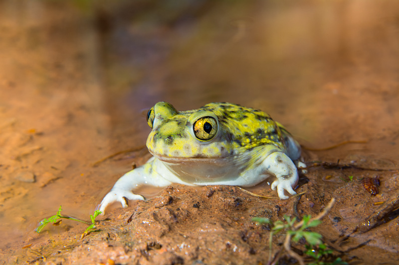 Interesting Nature Facts #23 – Spadefoot Toads
