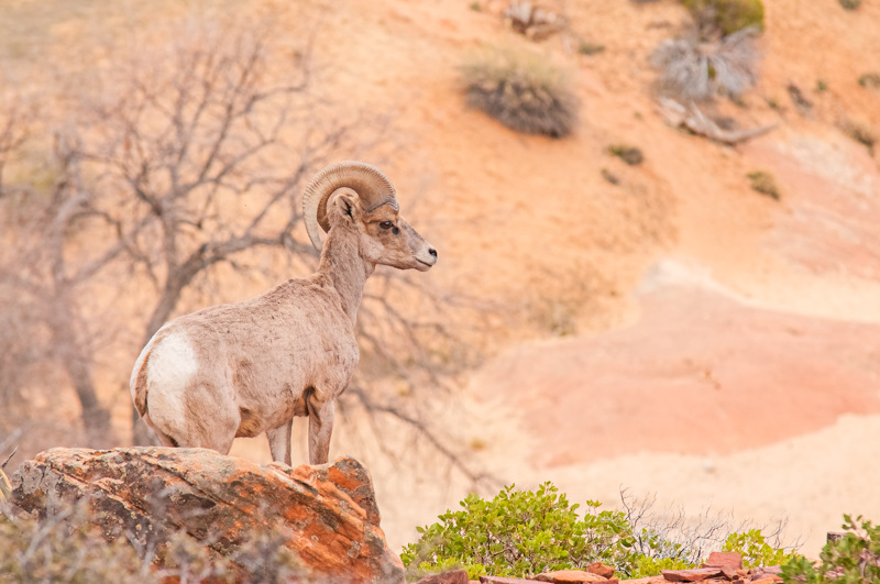 Interesting Nature Facts #22 – Bighorn Sheep