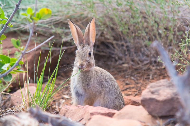 Interesting Nature Facts #21 – Desert Cottontail