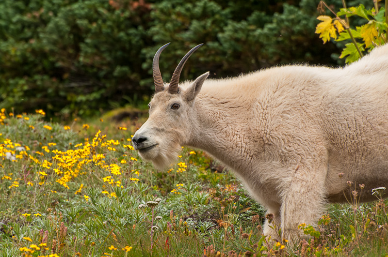 Interesting Nature Facts #29 – Mountain Goats