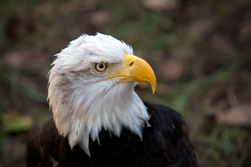 Interesting Nature Facts #47 – Bald Eagles