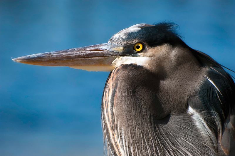 Interesting Nature Facts #45 – Great Blue Heron
