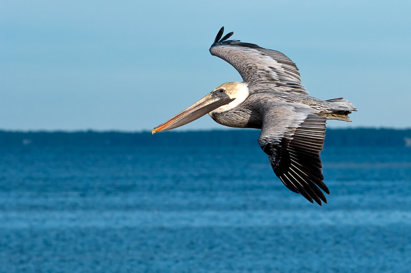Interesting Nature Facts #51 – Brown Pelican