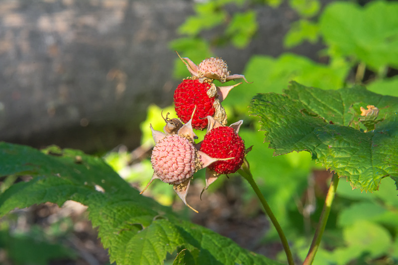 Interesting Nature Facts #33 – Thimbleberry