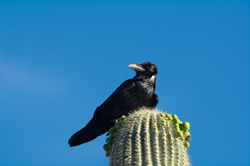 Interesting Nature Facts #41 – Chihuahuan Raven