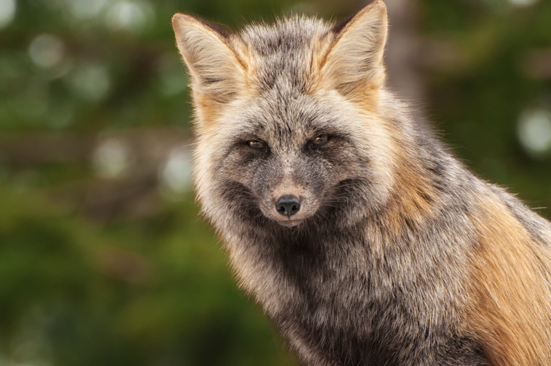 Interesting Nature Facts #55 – Foxes